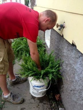 How to grow huge lush ferns submerge pot ever