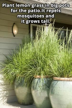 Plant lemon grass for privacy and to keep th